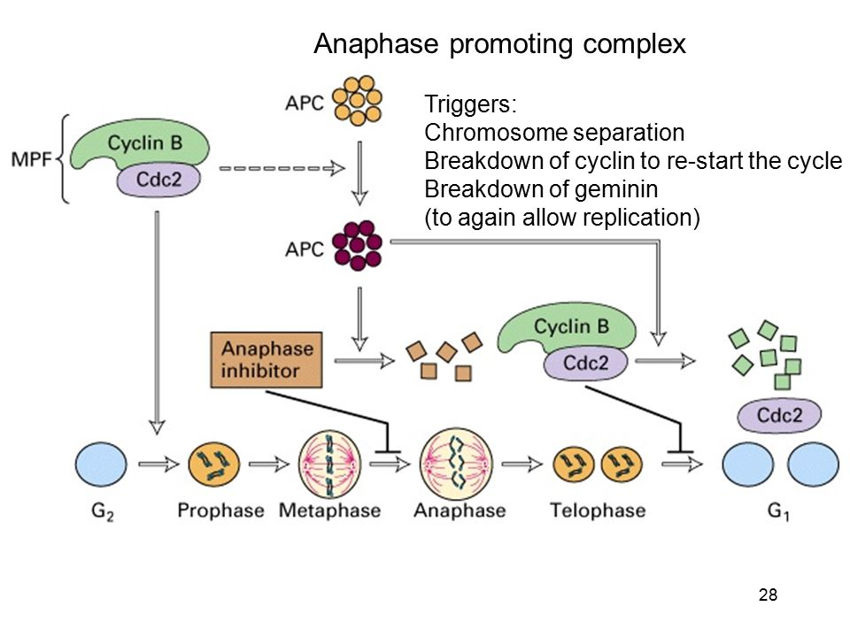 Anaphase promoting complex