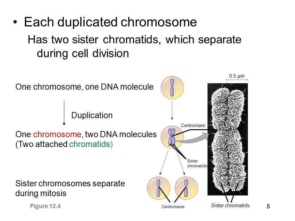 Each duplicated chromosome