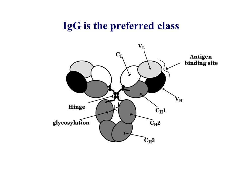 IgG is the preferred class