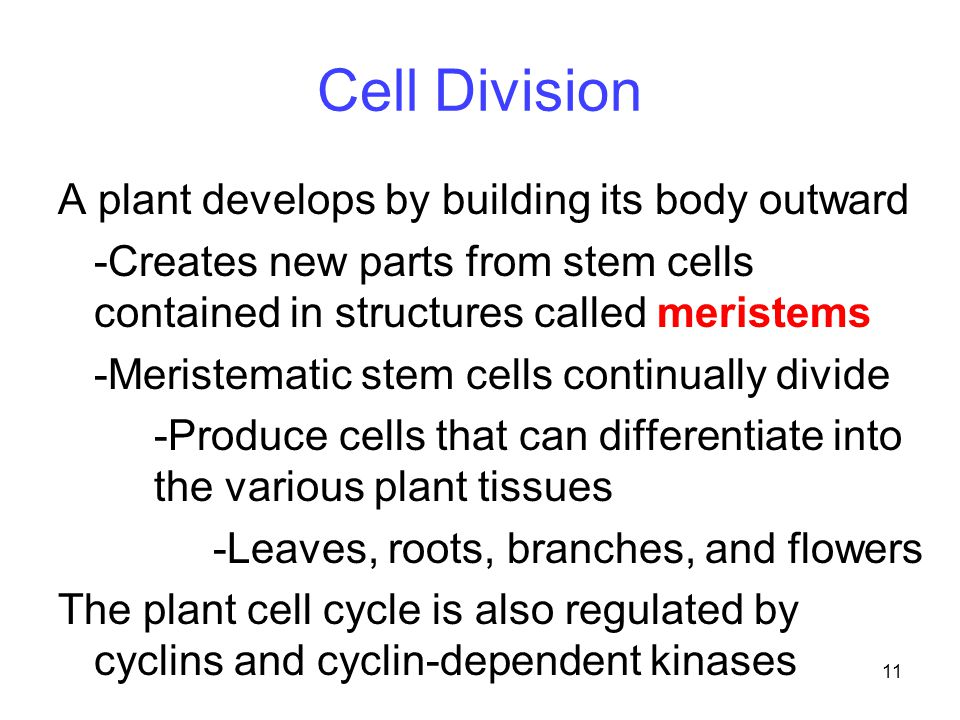 Cell Division A plant develops by building its body outward