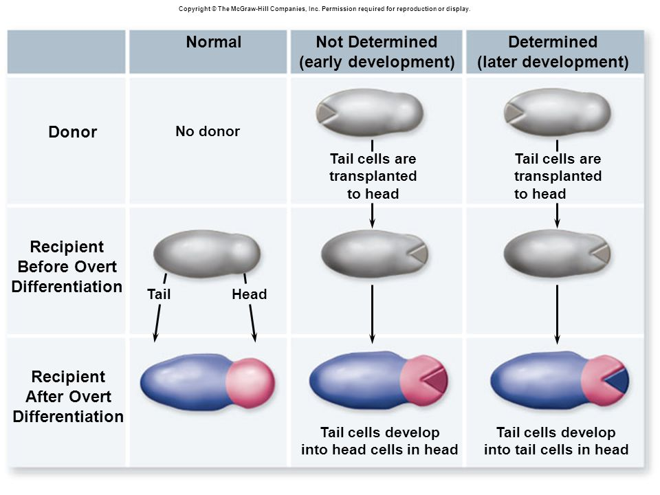 Donor Recipient Before Overt Differentiation After Overt Normal