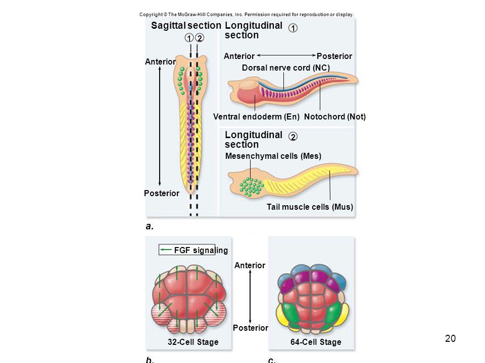 a. b. c. Sagittal section Longitudinal section Anterior Posterior 2 1