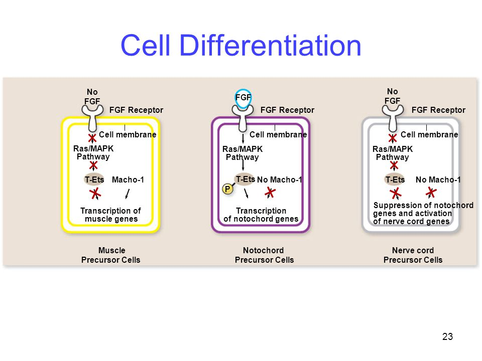 Cell Differentiation No FGF FGF Receptor Ras/MAPK Pathway T-Ets