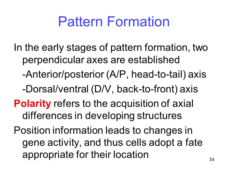 Pattern Formation In the early stages of pattern formation, two perpendicular axes are established.