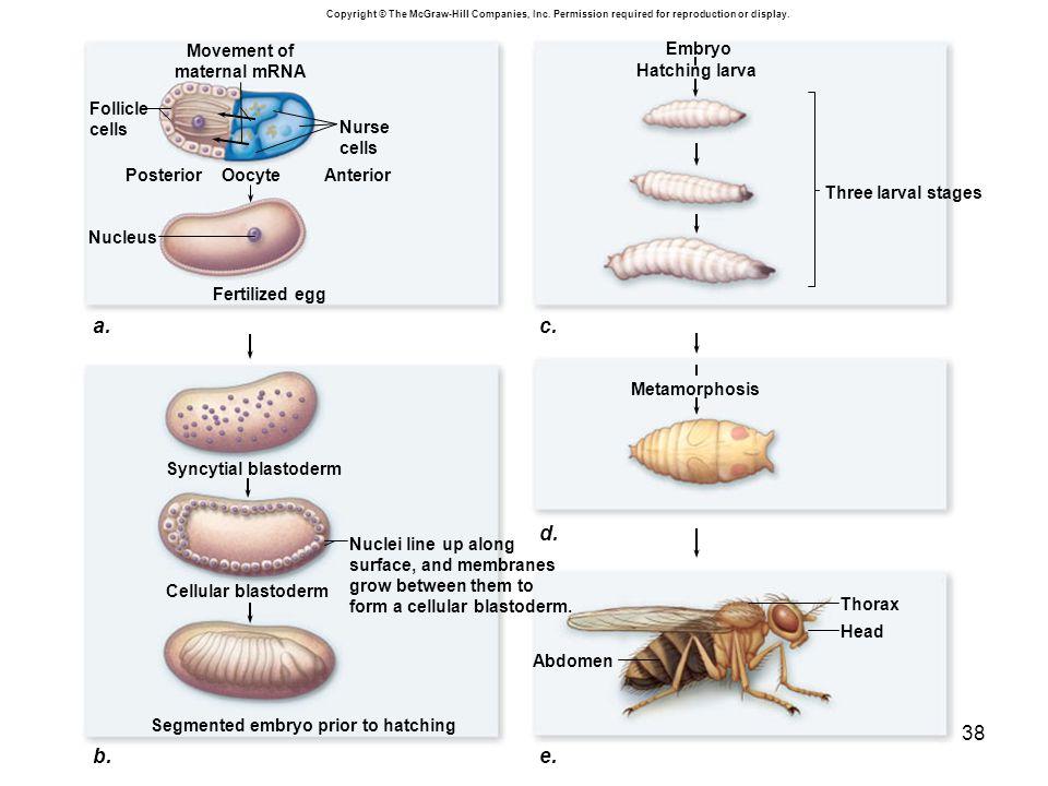 c. b. a. d. e. Nurse cells Anterior Posterior Movement of