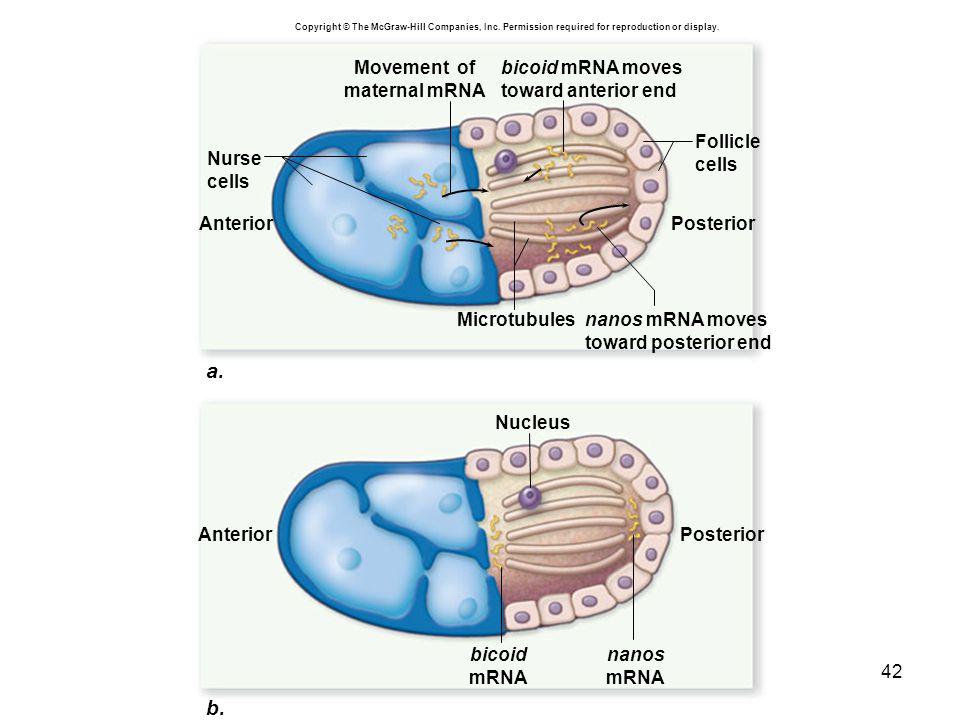 a. b. bicoid mRNA moves toward anterior end bicoid mRNA Movement of