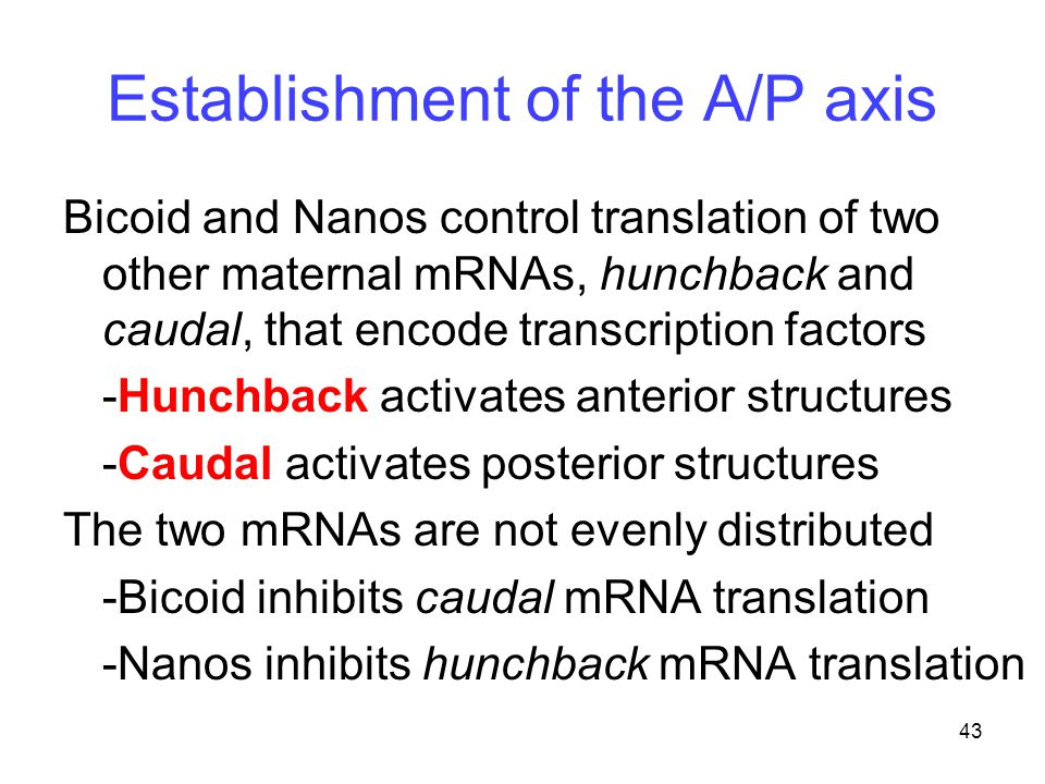 Establishment of the A/P axis