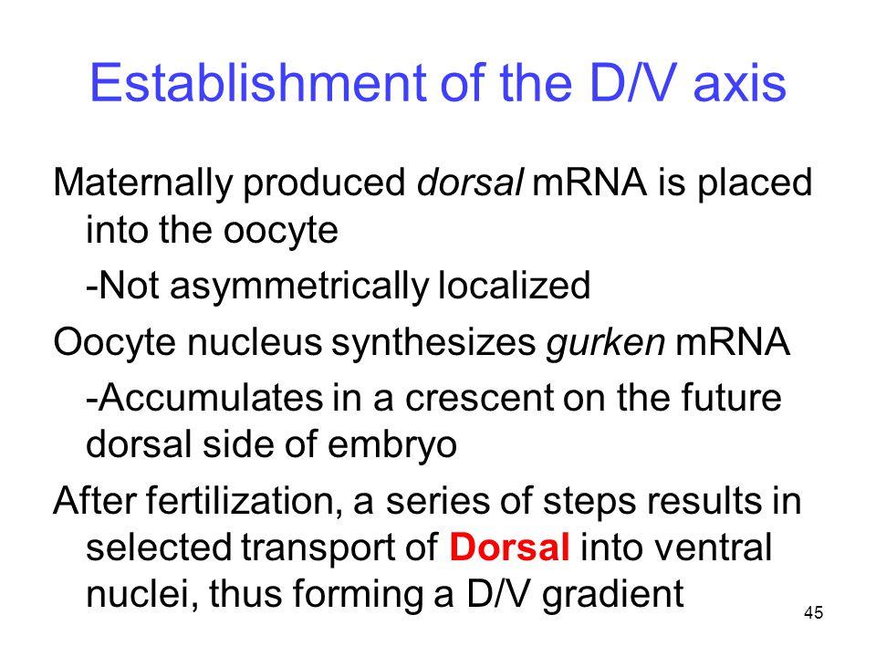 Establishment of the D/V axis