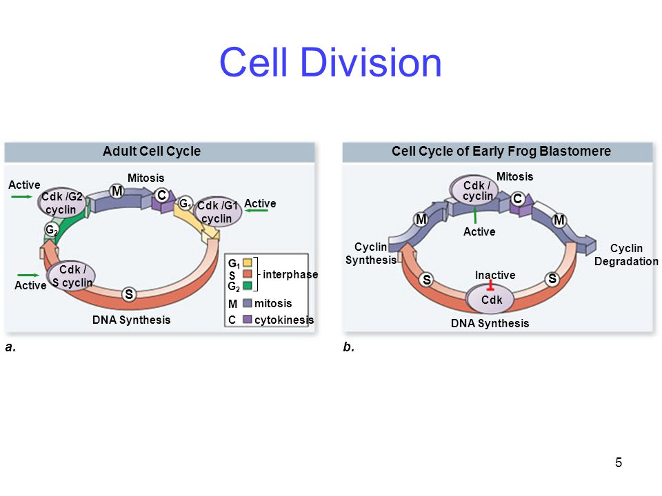 Cell Division C M Adult Cell Cycle Cell Cycle of Early Frog Blastomere