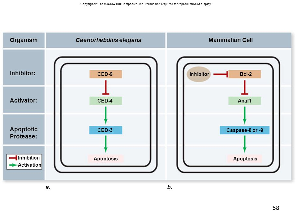 Caenorhabditis elegans Mammalian Cell Organism