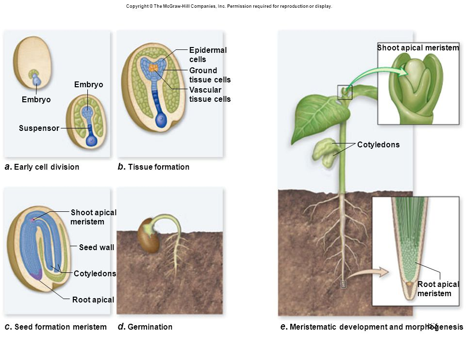 c. Seed formation meristem