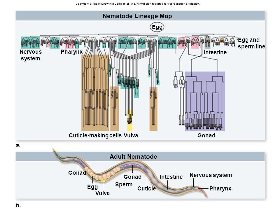 Nematode Lineage Map a. Adult Nematode b. Egg and sperm line Egg