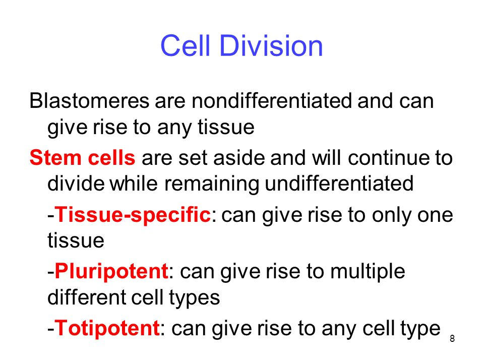 Cell Division Blastomeres are nondifferentiated and can give rise to any tissue.