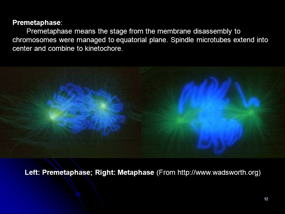 Left: Premetaphase; Right: Metaphase (From http://www.wadsworth.org)