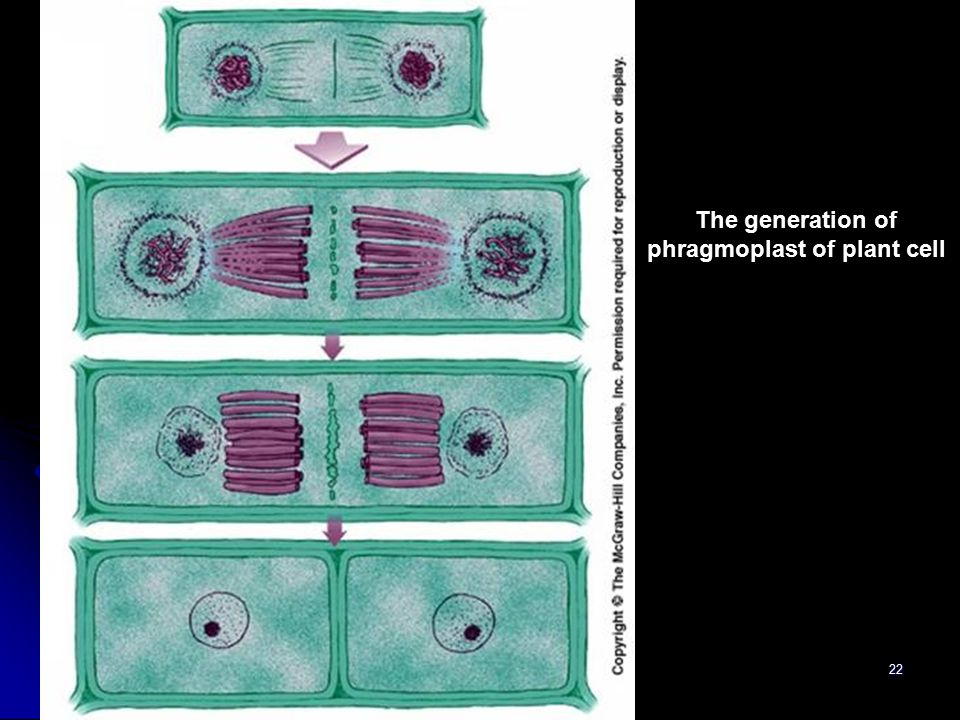 The generation of phragmoplast of plant cell