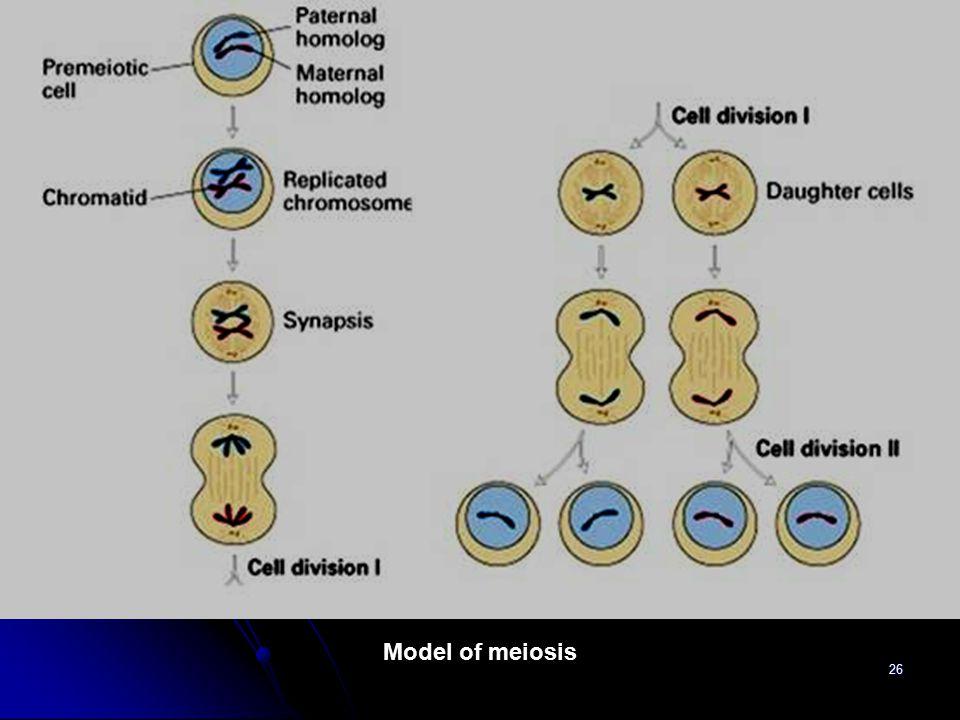 Model of meiosis