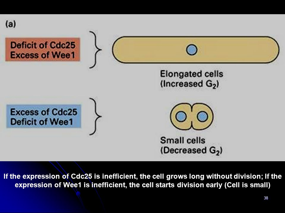 If the expression of Cdc25 is inefficient, the cell grows long without division; If the expression of Wee1 is inefficient, the cell starts division early (Cell is small)