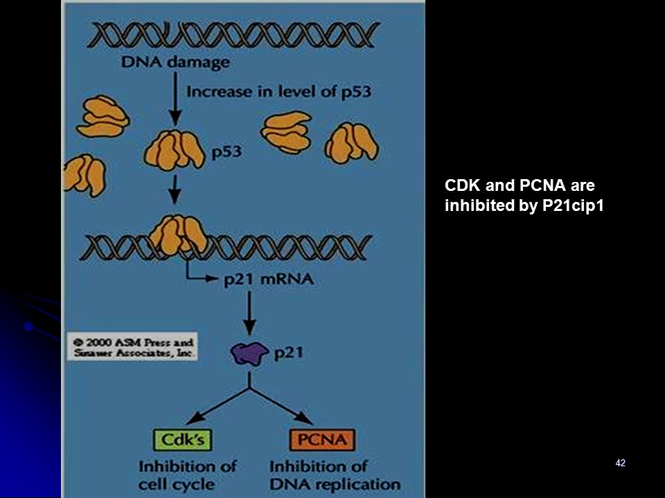 CDK and PCNA are inhibited by P21cip1