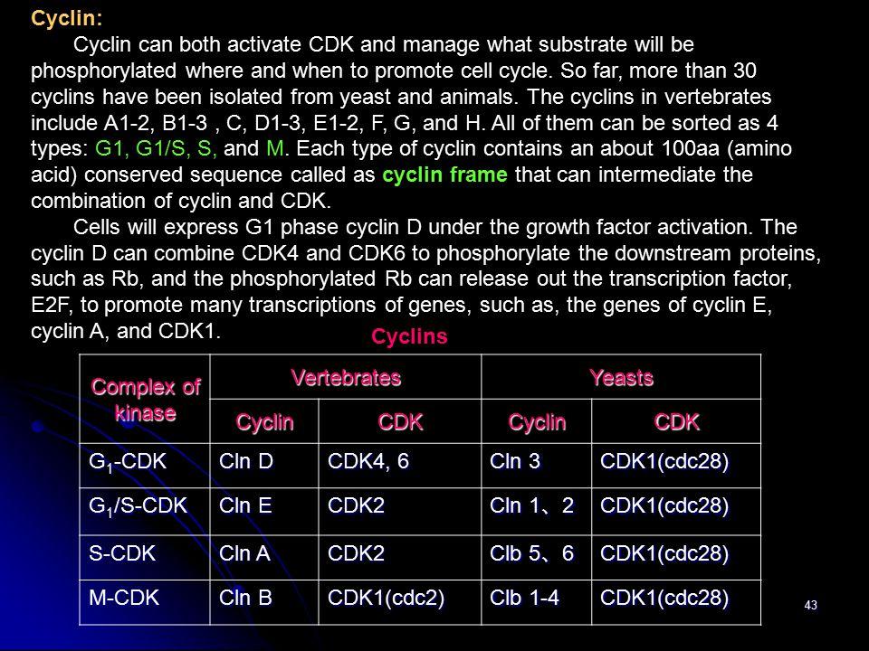 Cyclin: