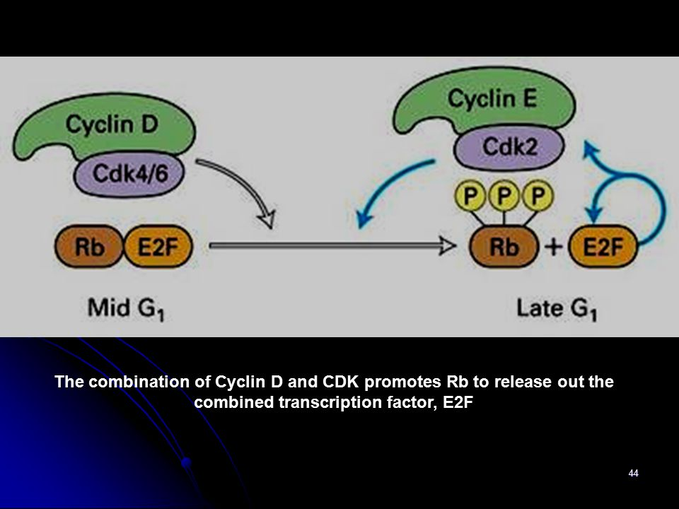 The combination of Cyclin D and CDK promotes Rb to release out the combined transcription factor, E2F