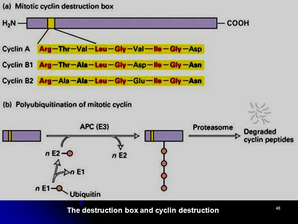 The destruction box and cyclin destruction