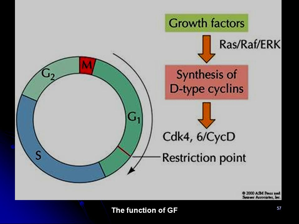 The function of GF