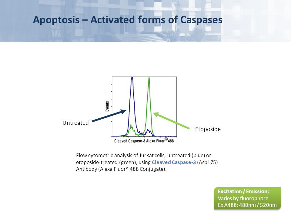 Apoptosis – Activated forms of Caspases