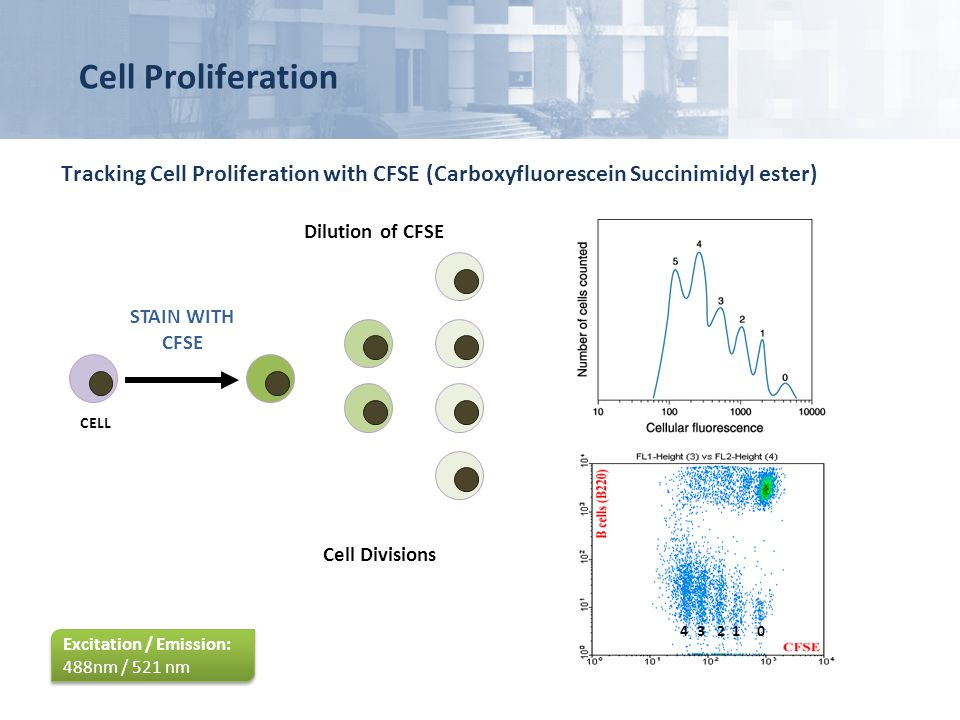 Cell Proliferation Tracking Cell Proliferation with CFSE (Carboxyfluorescein Succinimidyl ester) Dilution of CFSE.