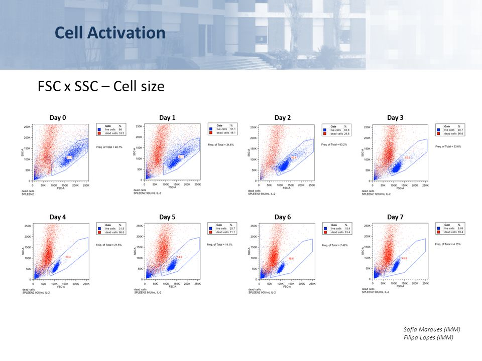 Cell Activation FSC x SSC – Cell size similar to apoptotic cells,