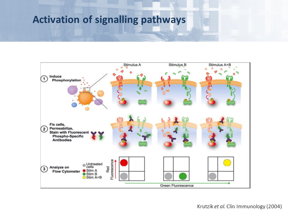 Activation of signalling pathways