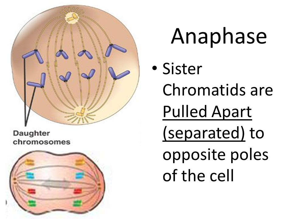 Anaphase Sister Chromatids are Pulled Apart (separated) to opposite poles of the cell