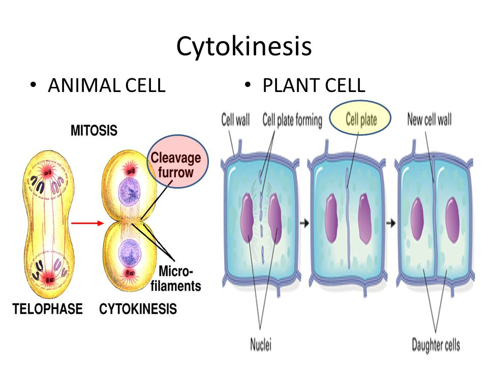 Cytokinesis ANIMAL CELL PLANT CELL
