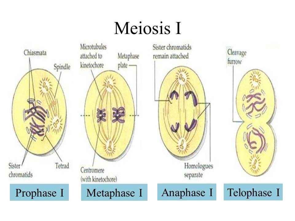 Meiosis I Prophase I Metaphase I Anaphase I Telophase I