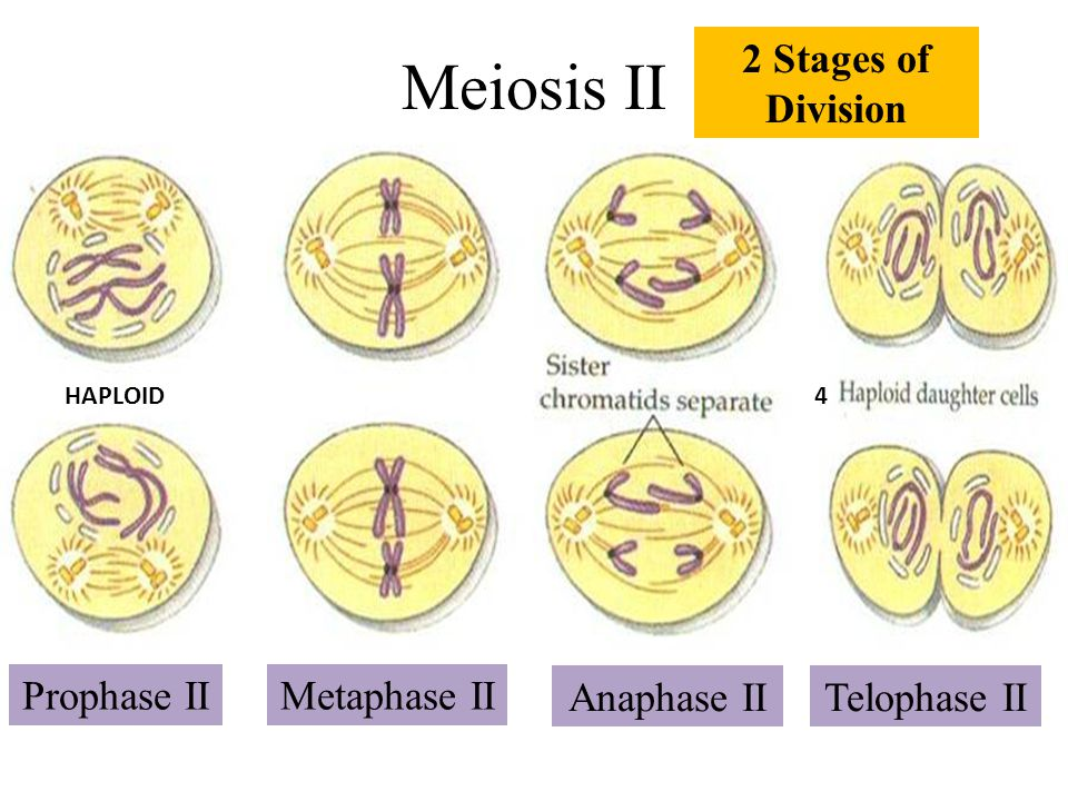 Meiosis II 2 Stages of Division Prophase II Metaphase II Anaphase II
