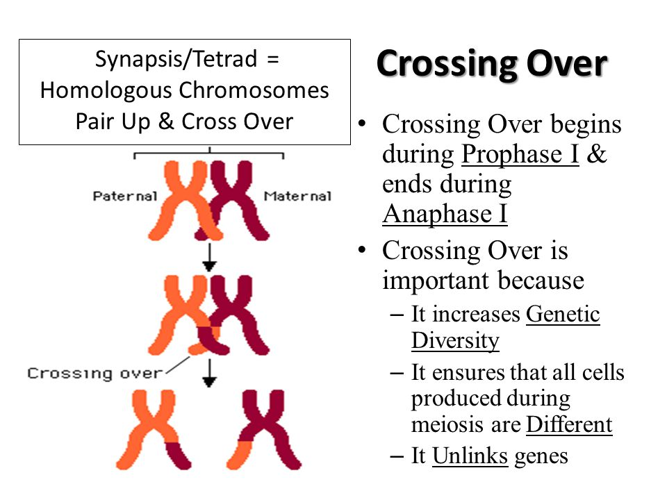 Synapsis/Tetrad = Homologous Chromosomes Pair Up & Cross Over