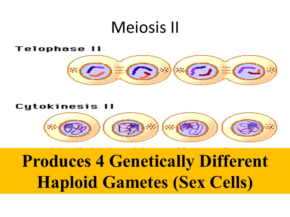 Produces 4 Genetically Different Haploid Gametes (Sex Cells)