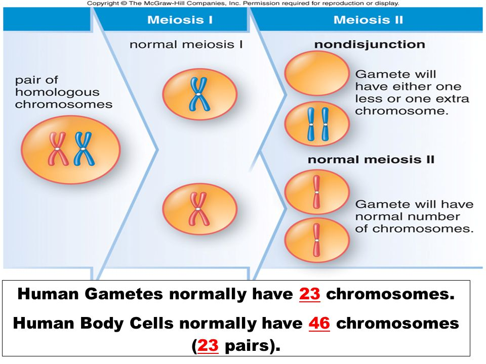 Human Gametes normally have 23 chromosomes.