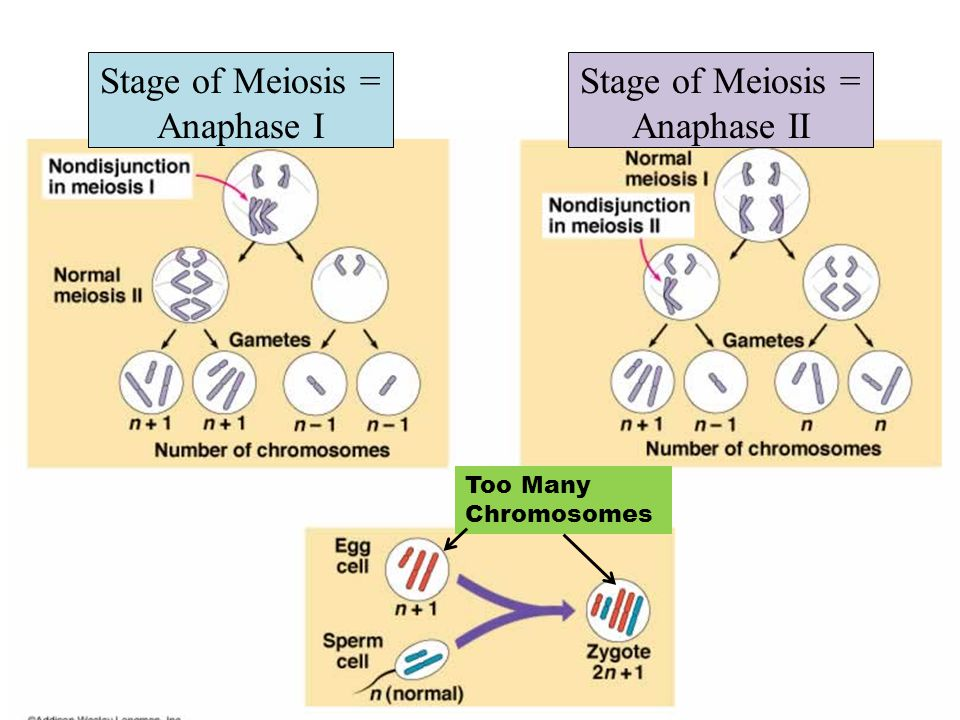 Stage of Meiosis = Anaphase I Stage of Meiosis = Anaphase II