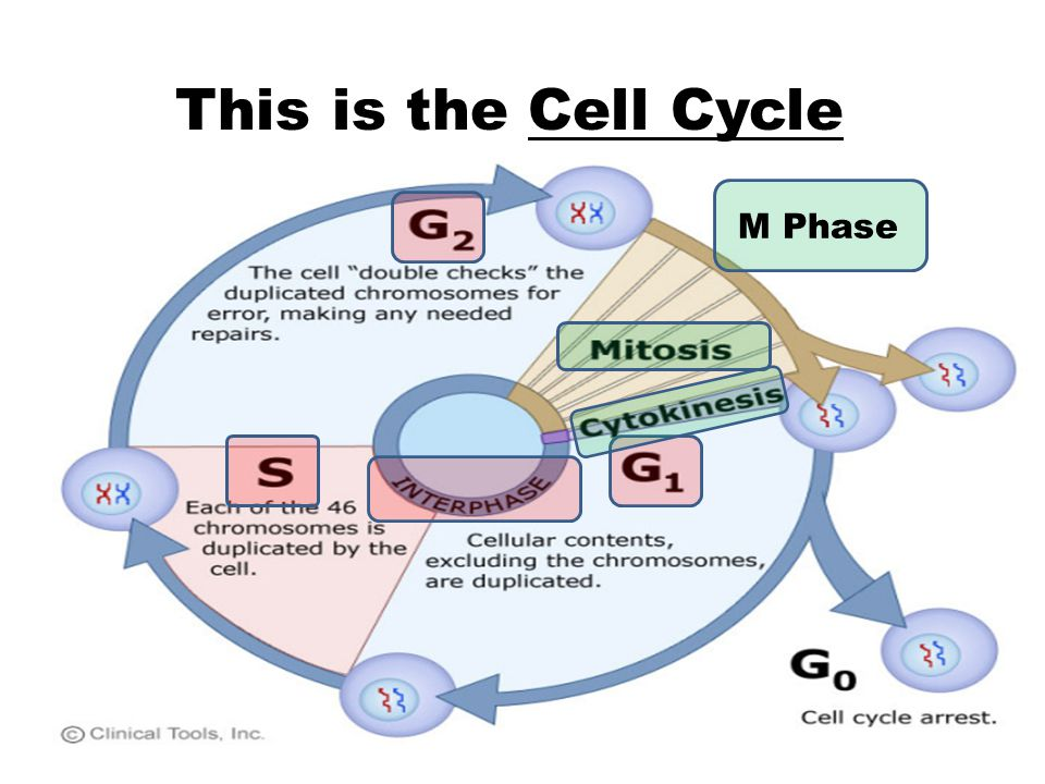 This is the Cell Cycle M Phase