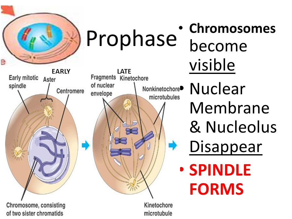Prophase Nuclear Membrane & Nucleolus Disappear SPINDLE FORMS