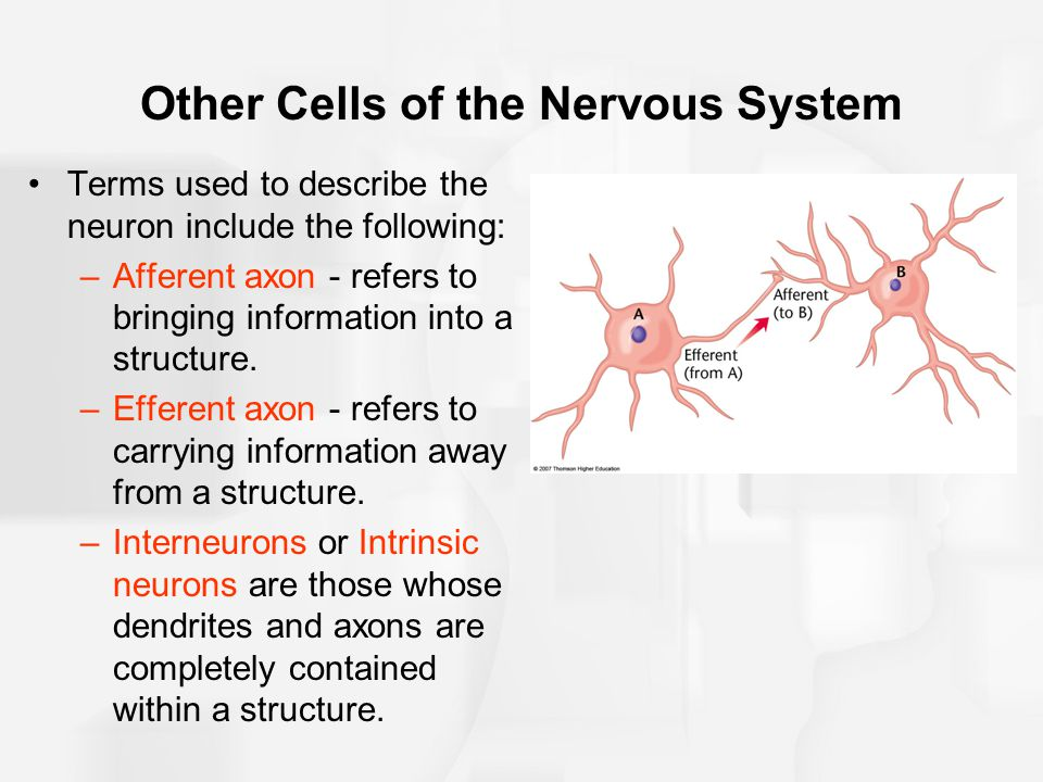 Other Cells of the Nervous System