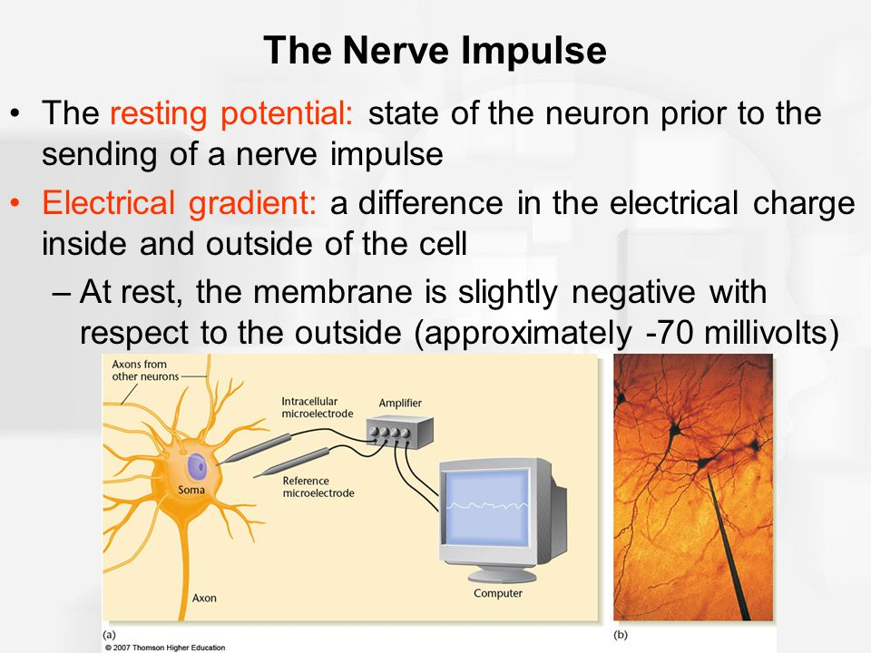 The Nerve Impulse The resting potential: state of the neuron prior to the sending of a nerve impulse.