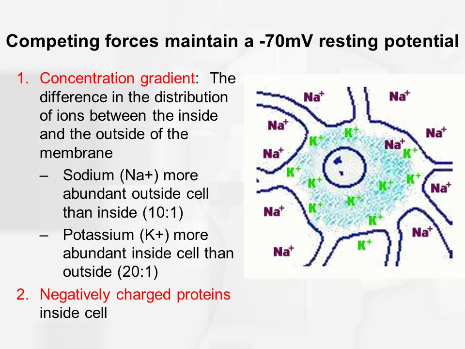 Competing forces maintain a -70mV resting potential