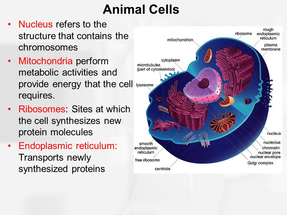 Animal Cells Nucleus refers to the structure that contains the chromosomes.