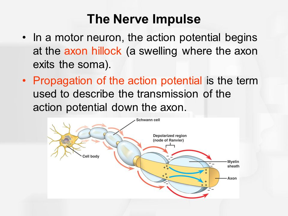 The Nerve Impulse In a motor neuron, the action potential begins at the axon hillock (a swelling where the axon exits the soma).