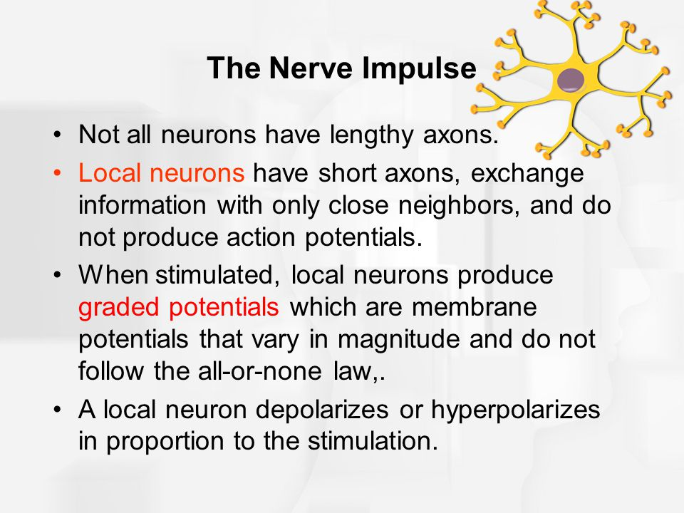 The Nerve Impulse Not all neurons have lengthy axons.