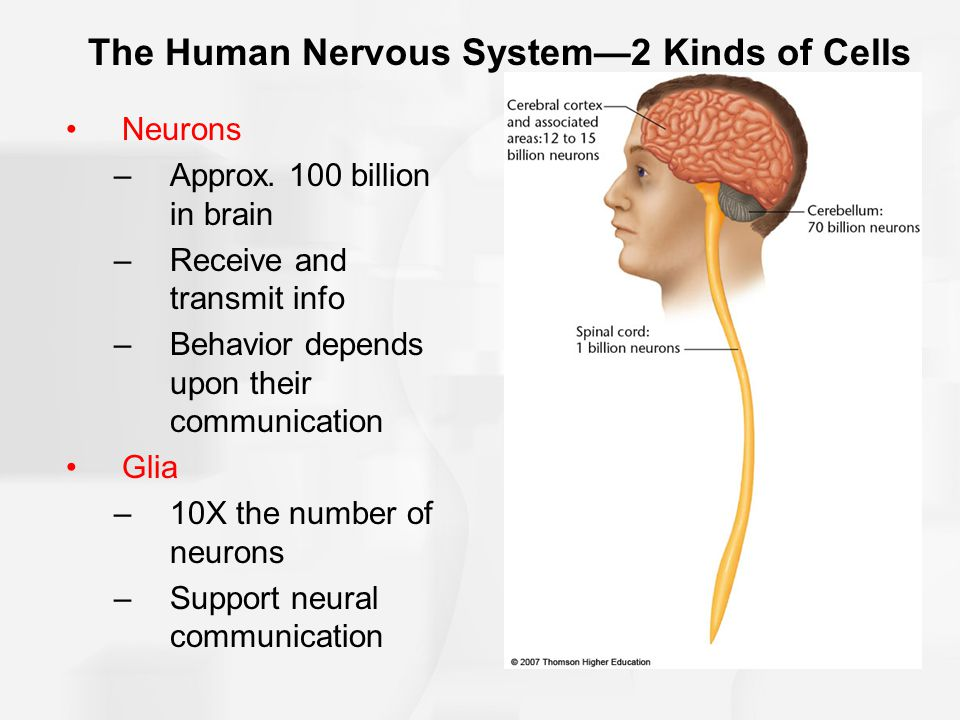 The Human Nervous System—2 Kinds of Cells