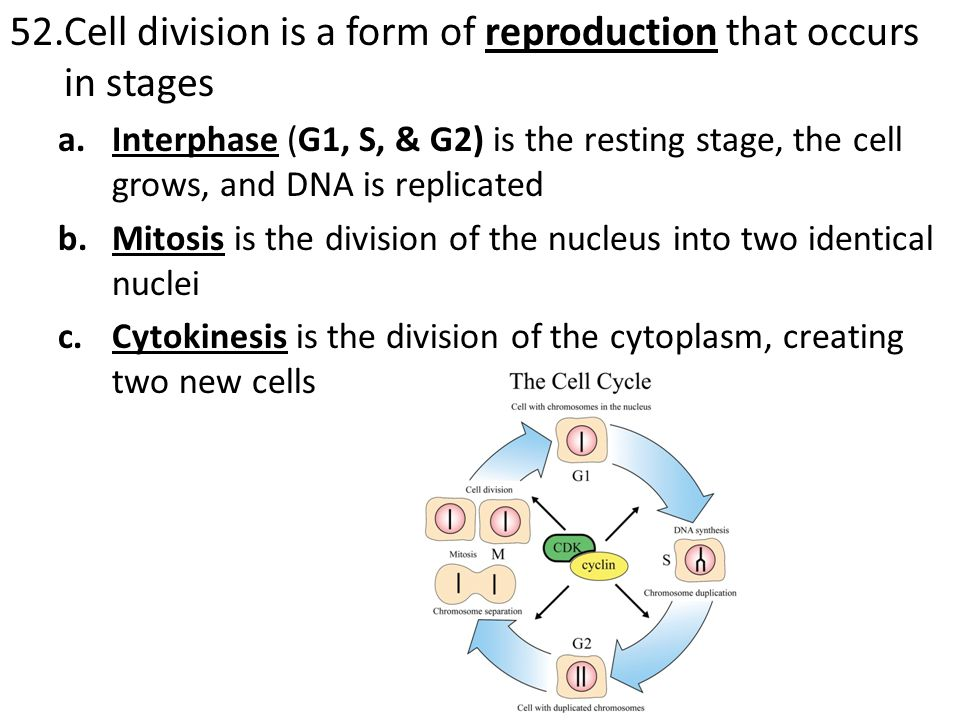 Cell division is a form of reproduction that occurs in stages