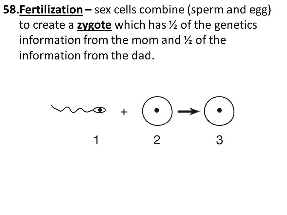 Fertilization – sex cells combine (sperm and egg) to create a zygote which has ½ of the genetics information from the mom and ½ of the information from the dad.