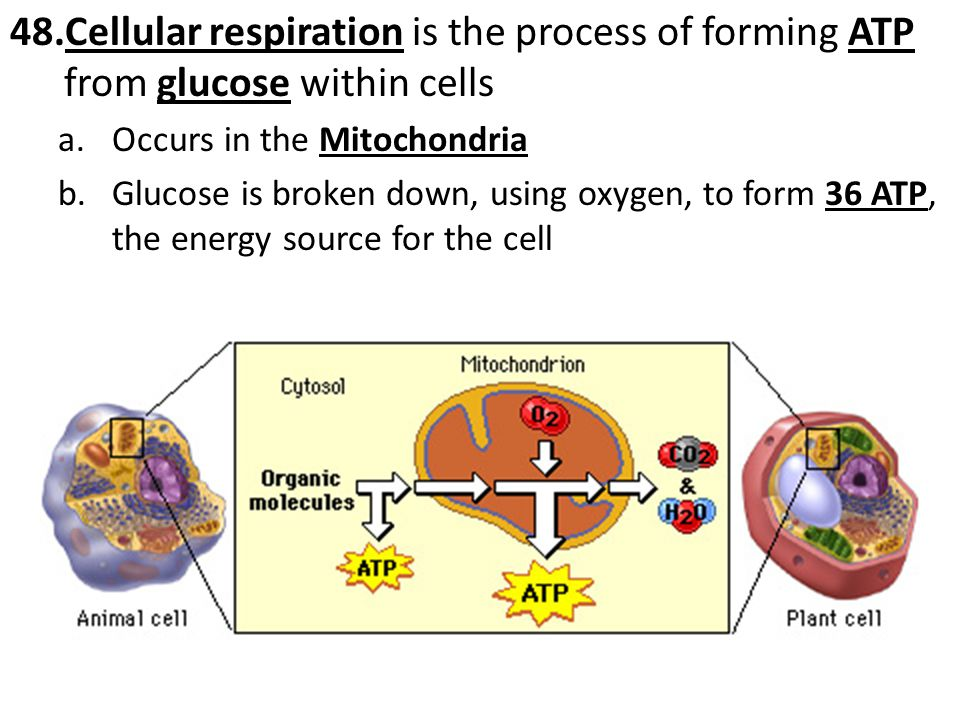 Cellular respiration is the process of forming ATP from glucose within cells